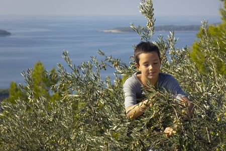 Young local farmer picking olives in traditional way. Harvesting eco olives for extra virgin olive oil. Sustainable organic agriculture for healthy food production Banco de Imagens