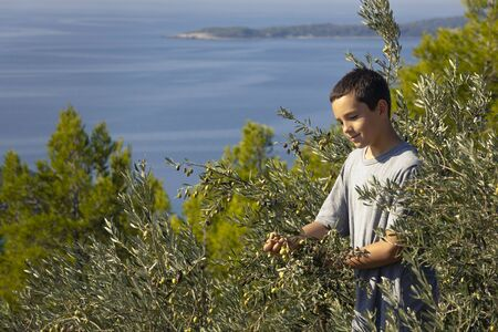 Young local farmer picking olives in traditional way. Harvesting eco olives for extra virgin olive oil. Sustainable organic agriculture for healthy food production.