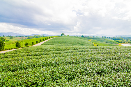 sui: Tea Farm Stock Photo