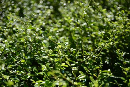 selective focus Ilex crenata japanese holly evergreen shrub
