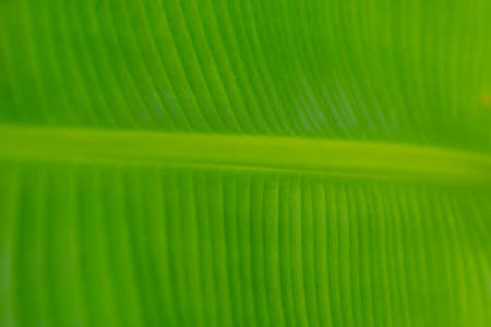 Banana leaf texture with natural green background. Banco de Imagens