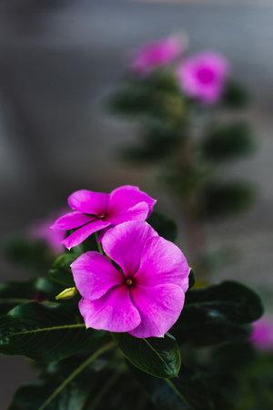 Pink watercress flowers on natural dark background.