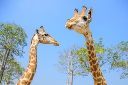 girafe: giraf Stock Photo