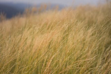grass in the sunset. Orange sky over yellow grass in summer