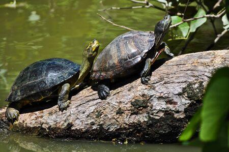 rnanimal: Two turtles on a log Stock Photo