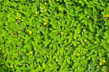 sour clover: Green  texture