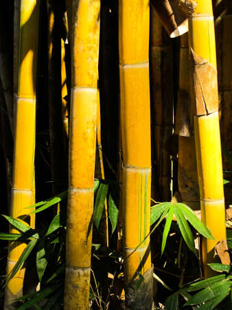 Yellow bamboo forest  photo