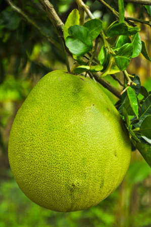 Pomelo fruit in the tree  Stock Photo
