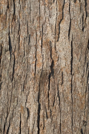 Pine tree bark photo
