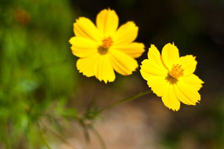Yellow flowers closeup photo