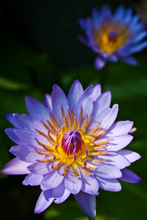 Purple lotus fflower closeup photo