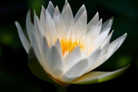 White lotus flower closeup photo