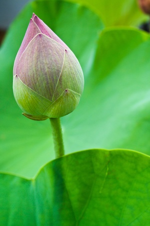 Lotus bud closeup photo