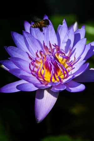 Flying bees is on the purple lotus Stock Photo - 11255064