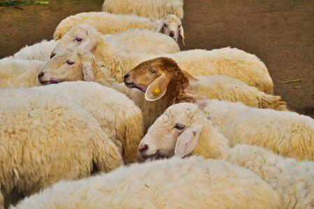 stock breeding: Sheep and more Sheep