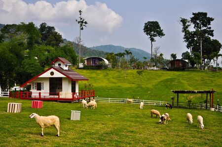 Sheeps in the farmland,Thailand photo