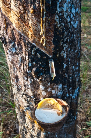 Latex from a rubber tree photo