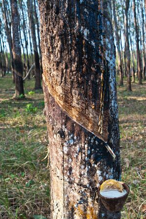 bark rain tree: Tapping latex from a rubber tree