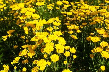 bakground: bakground with yellow chrysanthemums flowers  Stock Photo