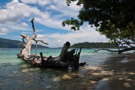coral bark: Old death tree on the beach,Lipe island  Thailand Stock Photo