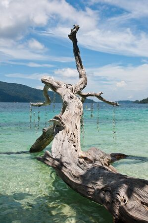 coral bark: Tree trunk on the sparkling clear water,Thailand
