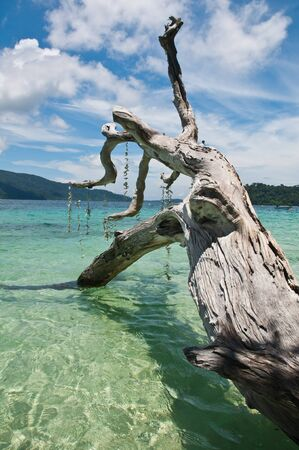 coral bark: Old death tree on the sparkling clear water,Thailand