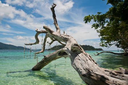 coral bark: Old death tree along the beach,Thailand