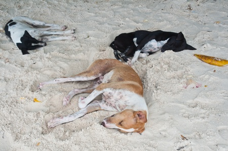 Three dogs relaxing on the white sand beach
