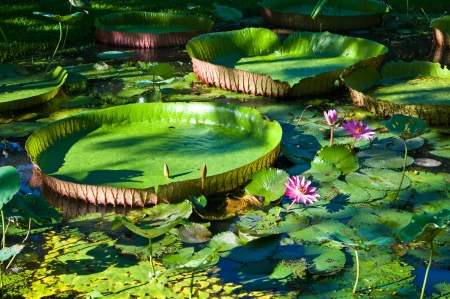 Waterlily and amazonion leafs in the pond Stock Photo - 14899433