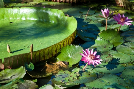 Waterlily and amazonion leafs Stock Photo