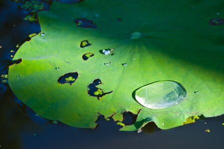 Dropping of water on lotus leaf photo
