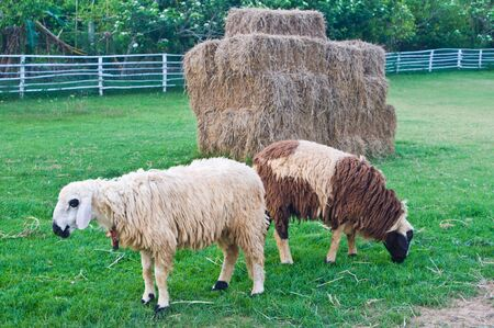 Sheep and straw Stock Photo