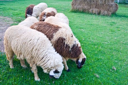 Sheep eating Stock Photo