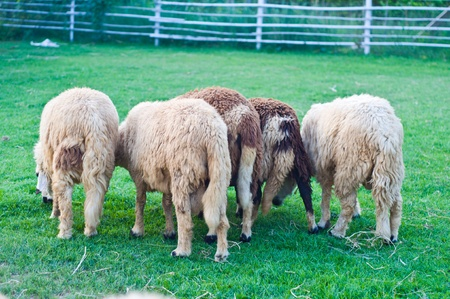 Group of buttocks of sheep photo
