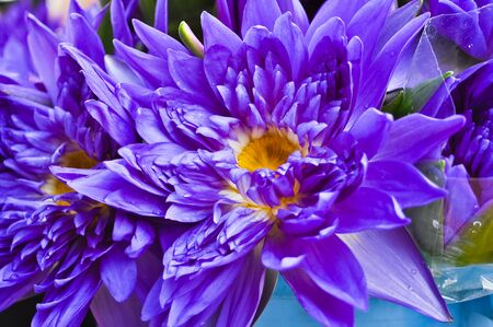 Purple waterlily photo