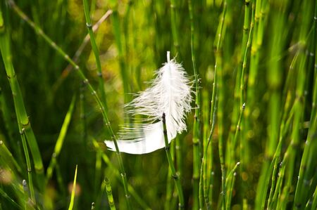 quivering: White feather on grass