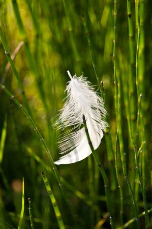 quivering: Striking white feather in green grass