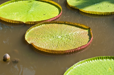 leaves of Amazonian water lily photo