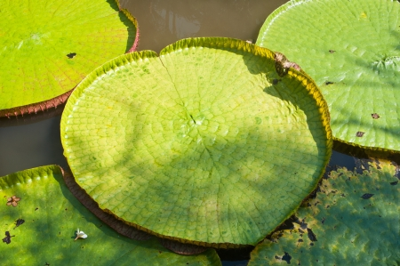 Majestic amazon lily pads photo