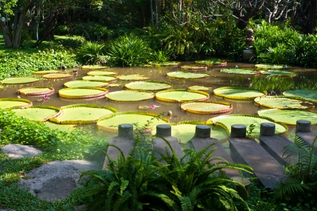 Amazon water lily and footpath  photo