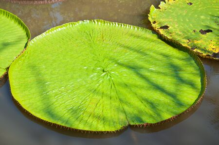 Giant leafs of waterlily Stock Photo - 17341877