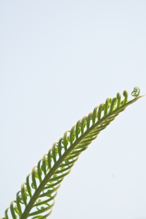Young fern leaf photo