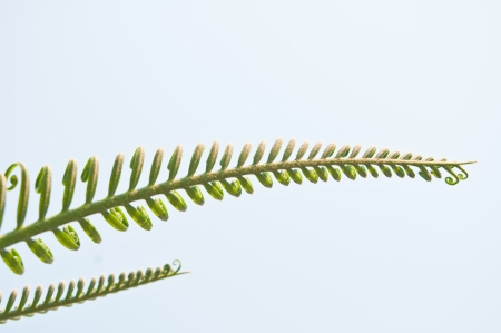 Fresh green leaves of a fern photo