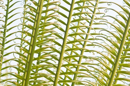 Young fern leaves  photo
