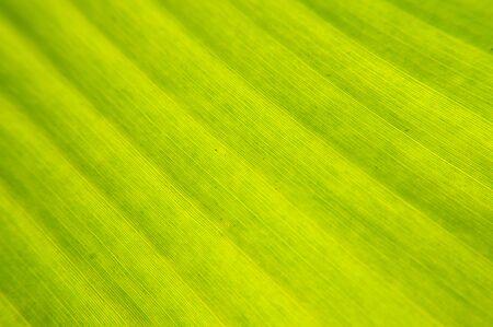 Fresh green banana leafs photo