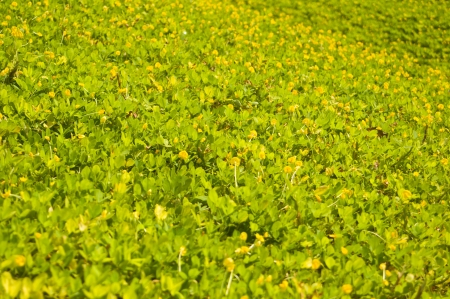 Cover crop and yellow flowers stock photo picture and royalty free cover crop and yellow flowers stock photo 21259063 mightylinksfo