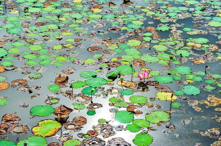 lotus effect: Effect of sunlight in the lotus lake