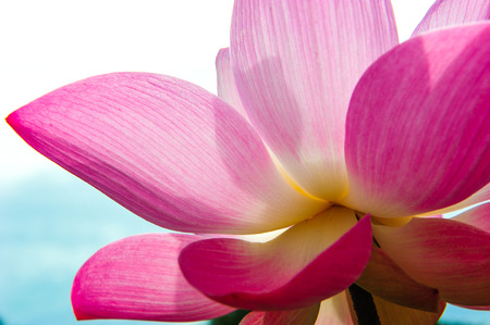 Close-up of blossom pink lotus flowers  photo
