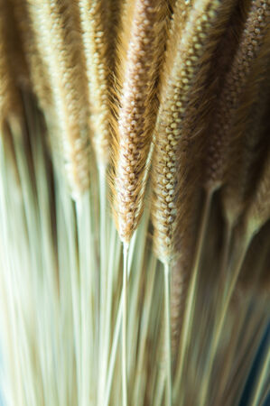 Stalks of dry grass flower closeup photo
