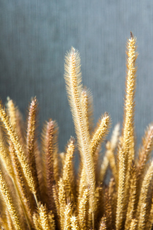 Stalks of wheat flower and grey background photo